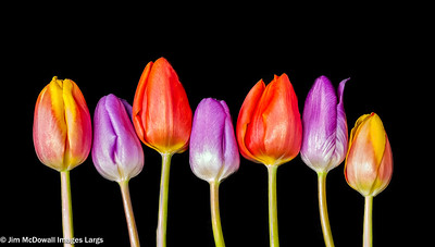 Seven Colourful Tulip Heads in a Row