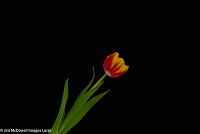 Single Red & Yellow Tulip Isolated on a black back ground