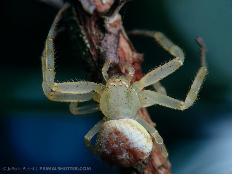 Thomisidae, a crab spider