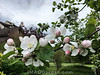 Blühender Apfelbaum in einem Garten in den Halden in Aarau © Patrick Lüthy/IMAGOpress.com