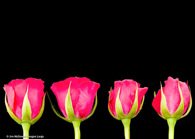 Four Pink Roseheads in a Row on Black