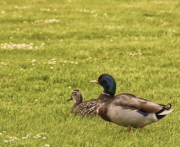 Two Ducks in a Field. Ducks in a Field.