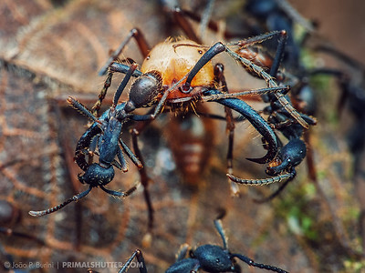 Major army ant soldier covered in workers (Eciton burchellii)