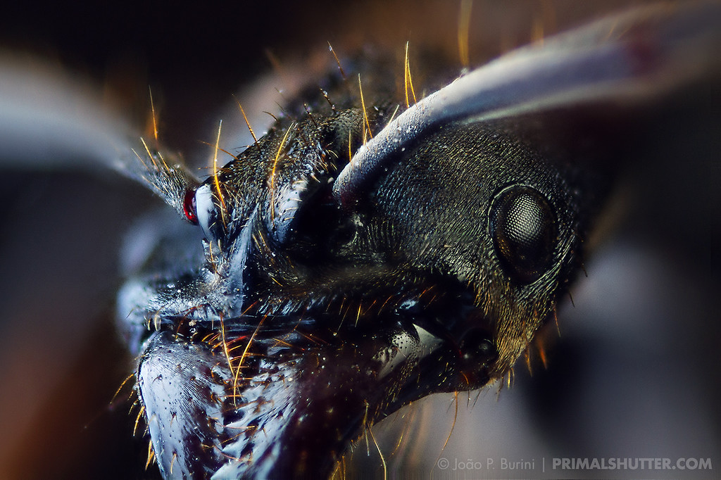 Head close-up of a predatory ant (Pachycondyla, fixed subject)
