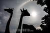 Guatemala : Jirafas en el Zoológico de Guatemala / Giraffes at the Guatemala Zoo / Guatemala : Giraffen im Zoo von Guatemala © Jesús Alfonso/LATINPHOTO.org