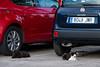 Spanien : Katzen auf dem Parkplatz in Torrox - Pueblo in der Axarquia - Andalusien © Patrick Lüthy/IMAGOpress.com