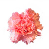 Single Pink Carnation Flower on white background
