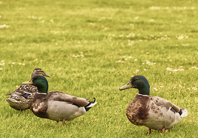 Three Ducks in a Field.