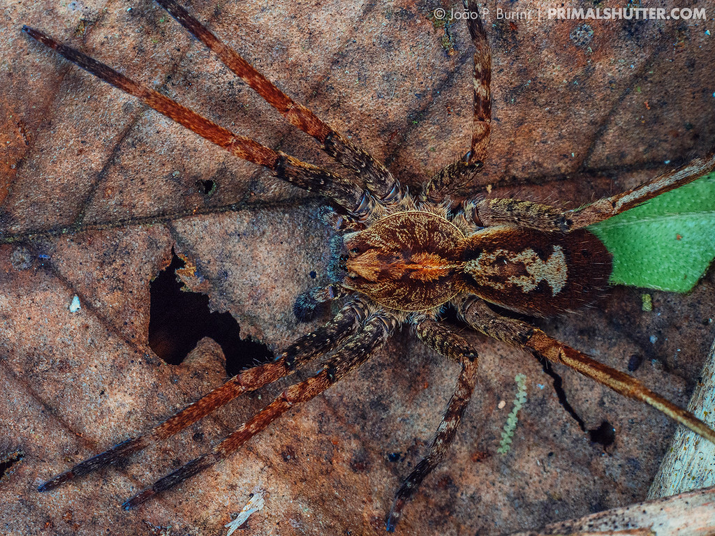 Top view of a wandering spider on the leaflitter, Ctenus species