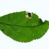 Leaf Mine, Plum, Stigmella plagicolella