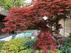Blühender Baum in einem Garten in den Halden in der Altstadt von Aarau © Patrick Lüthy/IMAGOpress.com