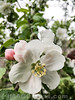 Blüten eines Apfelbaums © Patrick Lüthy/IMAGOpress.com