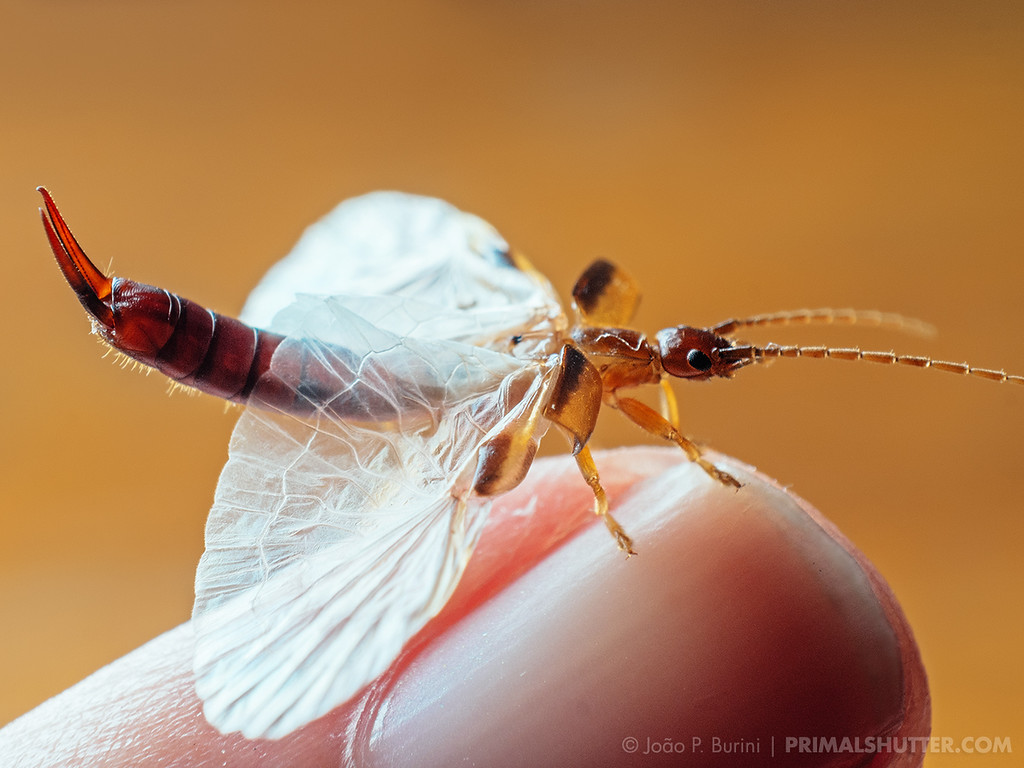 Rare to see wing display of an earwig
