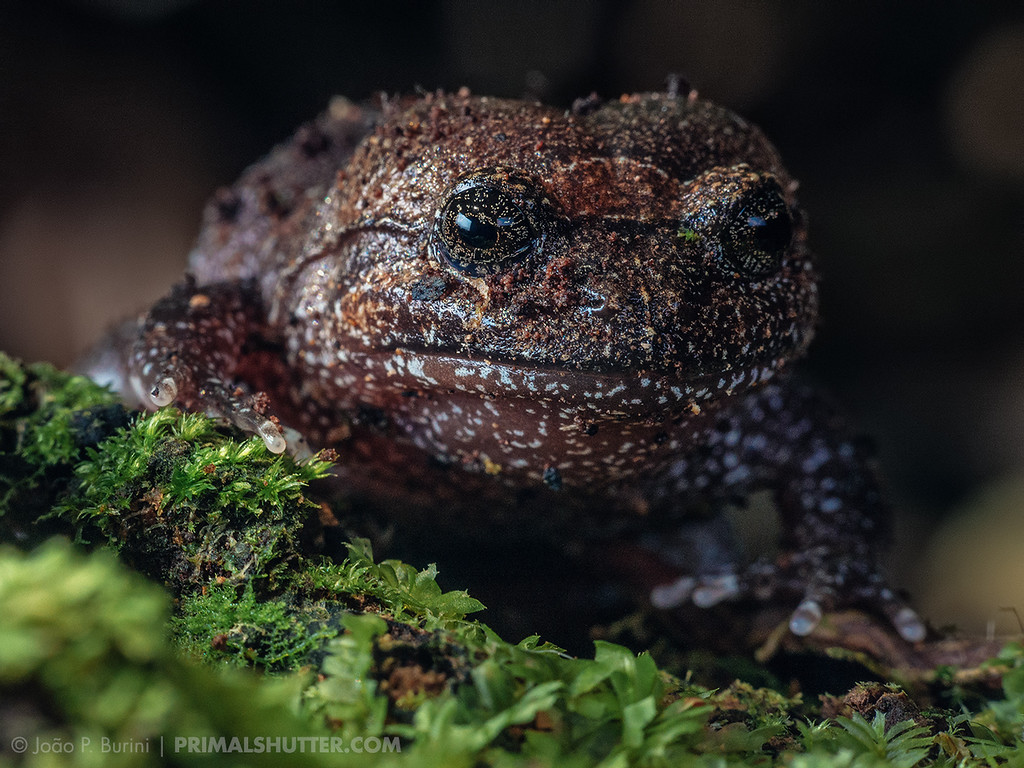 Cycloramphus acangatan, vulnerable frog species from the atlantic forest