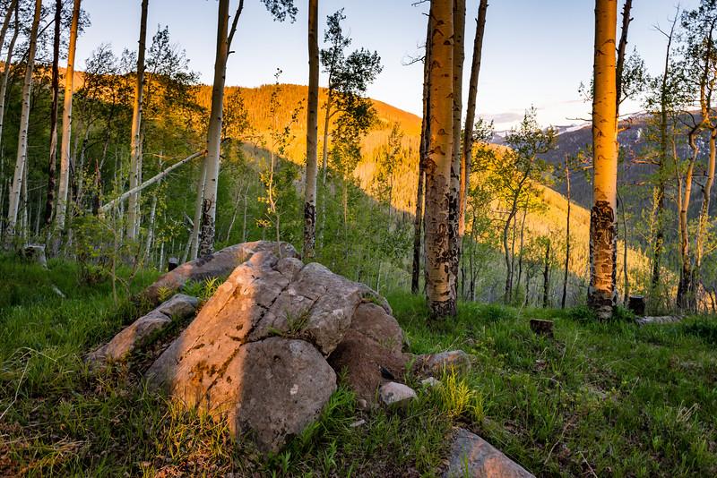 Colorado Aspens Springtime