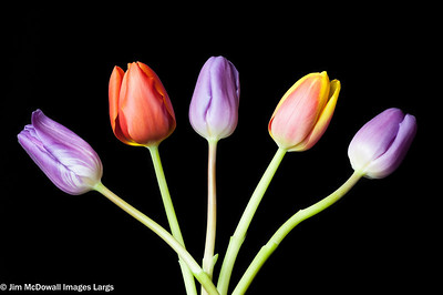 Five Colourful Tulip Heads Isolated on a black back ground.