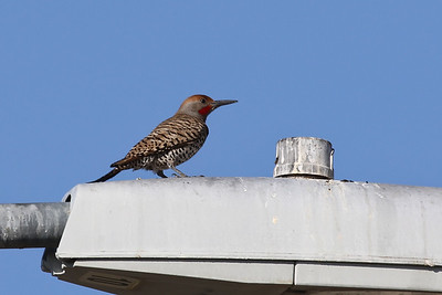 Gilded Flicker @ Sun City West, March 2017