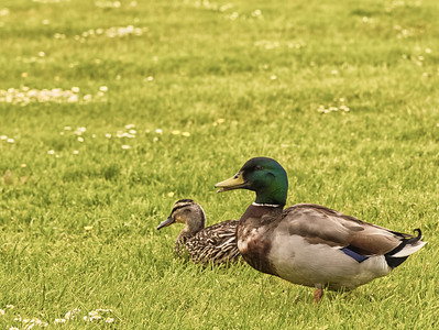 Ducks in a Field.