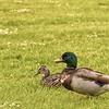 Ducks in a Field.