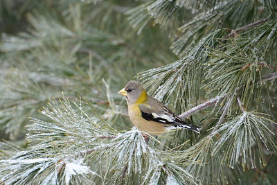 Evening Grosbeak (female)
