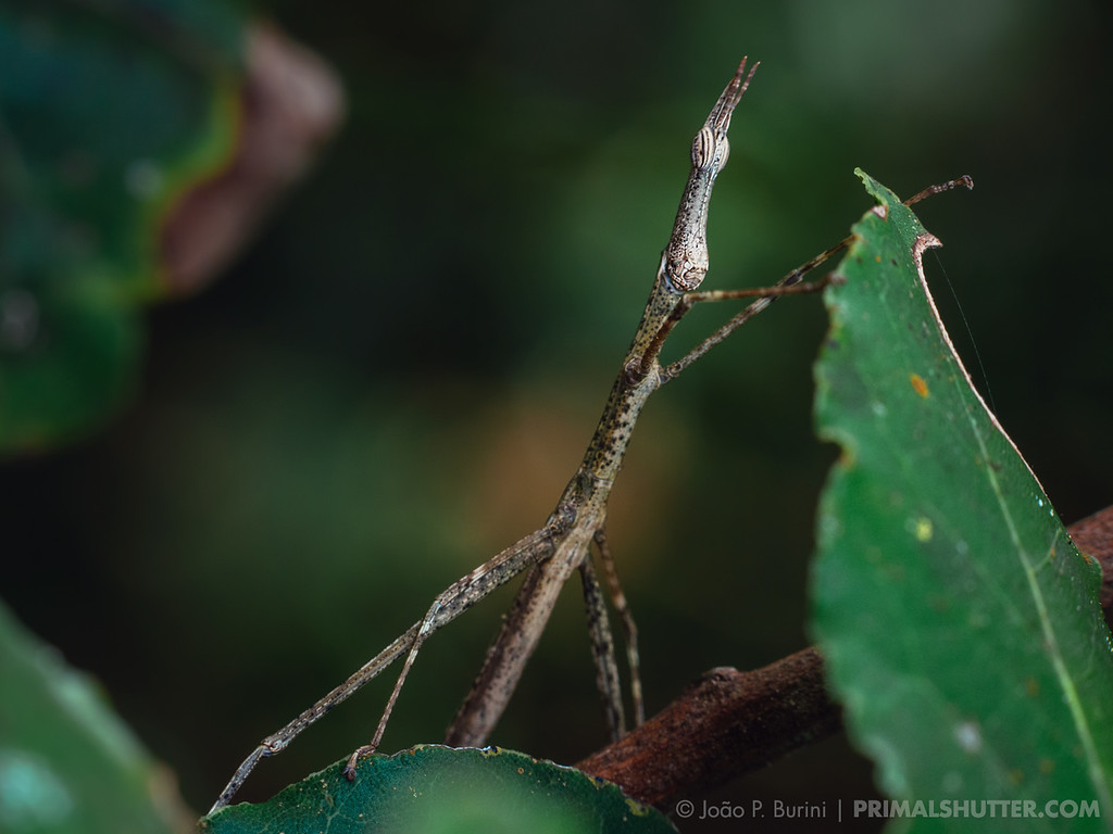 Horsehead grasshopper (Proscopiidae), camouflages similary as a stick bug