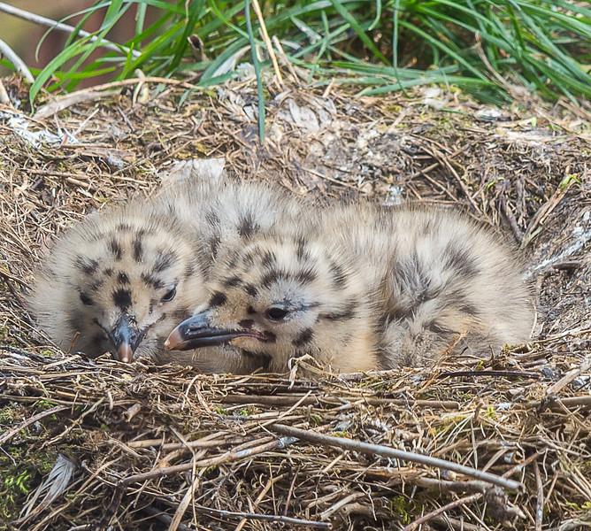 Two Seagull Chicks in their nest both awake.