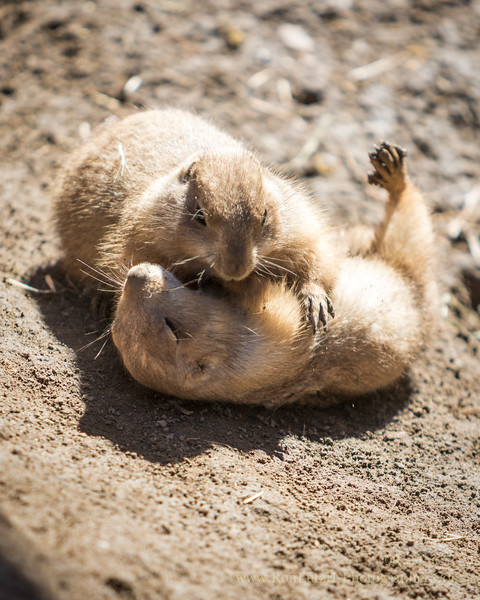 Prairie Dogs @ Play