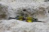 Argentina : Loro Barranquero - Cyanoliseus Patagonus . Ave multicolor , de unos 45 cm, cabezona, robusta , vive en campos abiertos , barrancas cercanas al rio o en acantilados cerca del mar , muy ruidoso, se alimenta de semillas y grutos secos / Argentina : Loro Barranquero - Cyanoliseus Patagonus. Multicolored bird , about 45 cm , head, robust , live in open fields , ravines near the river or cliffs near the sea, very noisy , feeds on seeds and dry cranes / Argentinien : Der Felsensittich ( Cyanoliseus patagonus ) gehört zur Familie der Eigentlichen Papageien und zur Gattung der Cyanoliseus , auch Chilesittich oder Chile Conure genannt © Matias Garay/LATINPHOTO.org