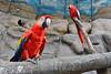 Guatemala : El guacamayo macao o guacamaya macao en algunos países ( Ara macao ) es una especie de ave perteneciente a la familia de los psitácidos / Guatemala : Aras - Papageienim Zoo von Guatemala © Jesús Alfonso/LATINPHOTO.org