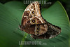 Costa Rica : mariposa Morpho / The Blue Morpho butterflies belong to the royalty of the butterflies, considered one of the most beautiful on the planet.They are solitary butterflies, except when the mating season arrives / Costa Rica :  Schmetterling © Andrea Díaz-Perezache/LATINPHOTO.org