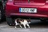 Spanien : Katze auf dem Parkplatz in Torrox - Pueblo in der Axarquia - Andalusien © Patrick Lüthy/IMAGOpress.com