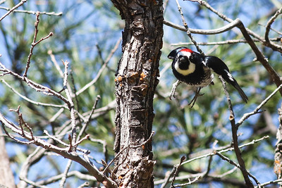 Acorn Woodpecker @ -Flagstaff-7635-8805 Old Walnut Canyon Road  - Mar 2017