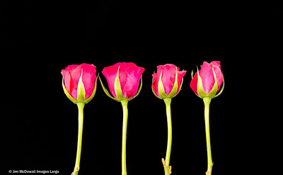 Four Pink Roses in a Row