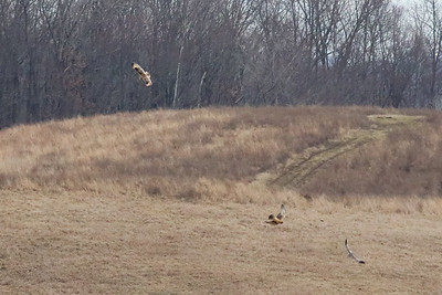 Short-eared Owl @ the Wilds - Jan 2017