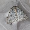November Moth Agg