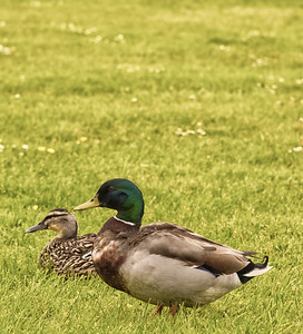 Two Ducks in a Field.