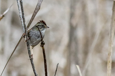 Swamp Sparrow @ the Wilds - Jan 2017