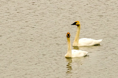 Trumpeter Swan @ the Wilds - Jan 2017
