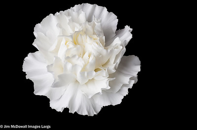 Single White Carnation Head Isolated on a black back ground.