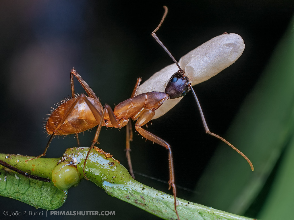Camponotus ant carrying a pupa
