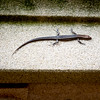 Sue's salamander