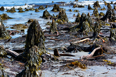Sunken forest on The Hawk, Cape Sable Island, NS.
