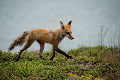Fox-16.jpg