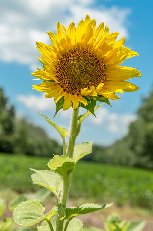 7/7/2017 - McKee-Besher Sunflowers, ©2017 Jacqui South Photography