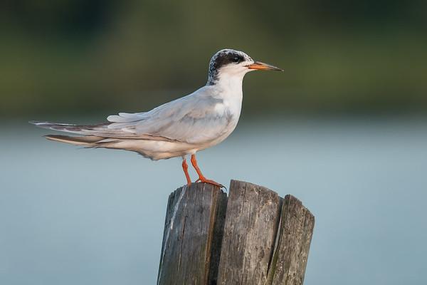 20170811-CCC-Birds-OwlHeronTernSunsetsRiseMisc