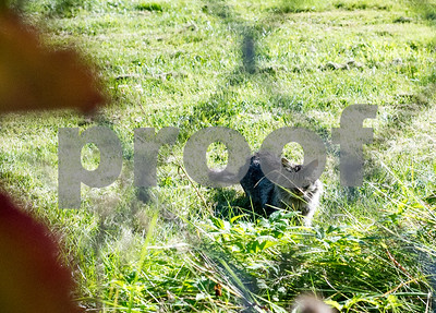 Robert Layman / Staff Photo A cat lurks around the grounds behind Rutland Middle School Wednesday afternoon.