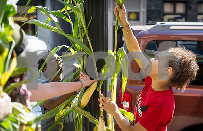 Robert Layman / Staff Photo  Rutland City got a little corny Wednesday afternoon with a little help from the Downtown Partnership and volunteers from the College of St. Joseph. Seen here Lashaunte White, center, and Arielys Rodriguez, right fix corn stalks to a light post on Center Street while Nikki Hindman, far left, Marketing and Events Coordinator for the RDP, helps hand them off.