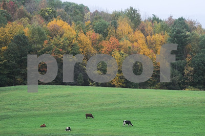 Robert Layman / Staff Photo Cows graze around a pasture in Ira, probably complaining about how awful the leaf peeping has been this year. October 9, 2017.