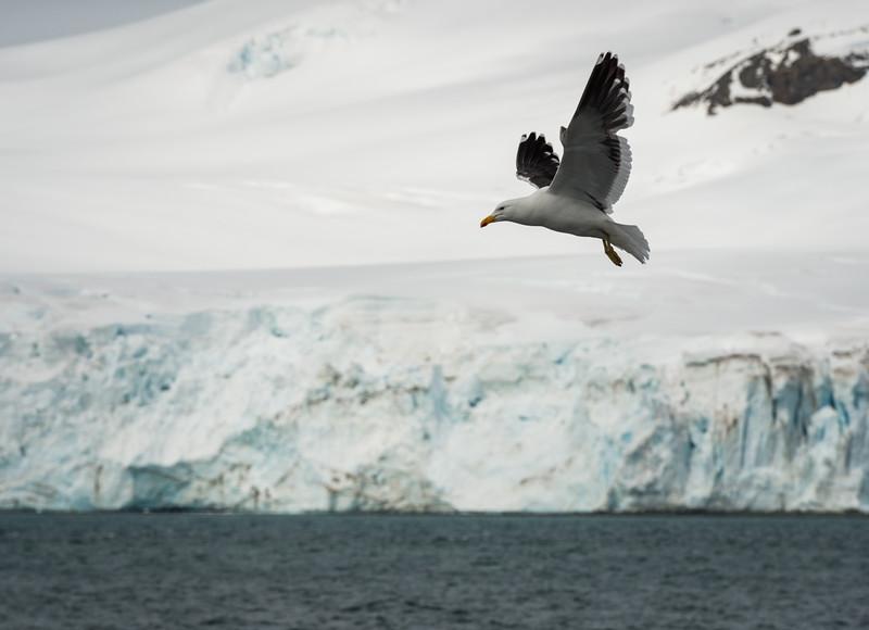 Half Moon Island, Antarctica; 12/29/2016Kelp Gull
