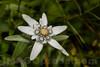 Leontopodium alpinum - Asteraceae family . Valsesia , Piedmont , Italy / Leontopodium alpinum - familie Asteraceae . Valsesia , Piemont , Italien © Silvina Enrietti/IMAGOpress.com 2016